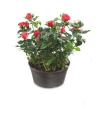 The Green Garden Rose Bowl 20cm