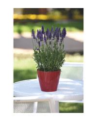 The Green Garden 2L Lavender