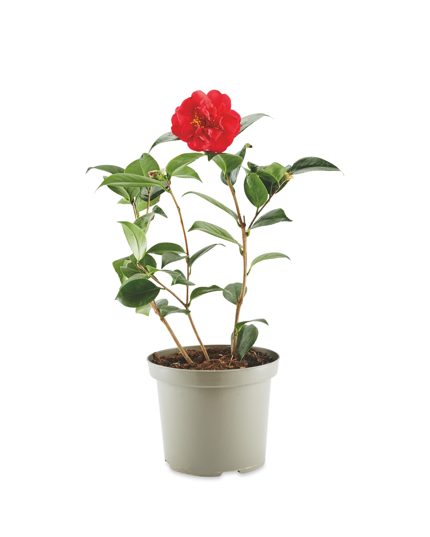 The Green Garden Camellia