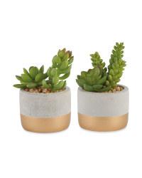 Gold Stripe Succulent 2 Pack