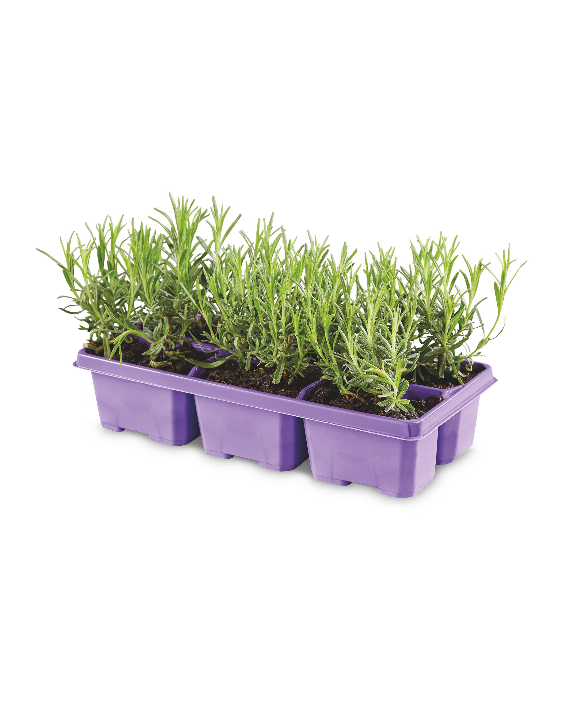 The Green Garden Lavender 6 Pack