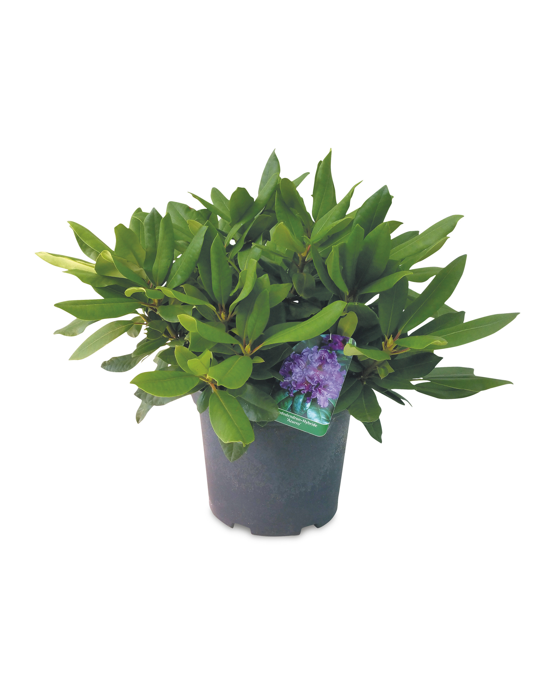 Ornamental Rhododendron