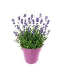 British Flowering Lavender Pot