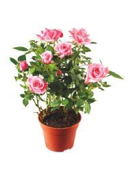 The Green Garden Indoor Mini Rose