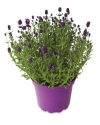 Lavender 2L