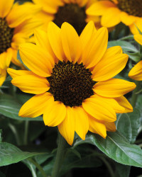 Patio Sunflower 2L
