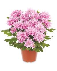 The Green Garden Pot Chrysanthemum