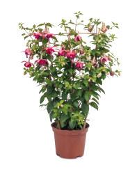 Potted Fuchsia Trellis