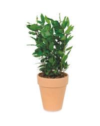 Potted Herb Bay laurel