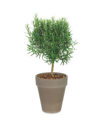 Potted Herb Rosemary